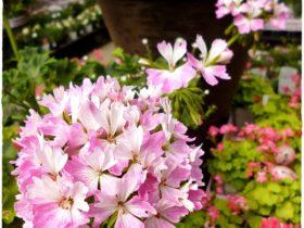 春の花苗の紹介