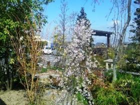 岡山の植木販売、富士シダレザクラ咲きました