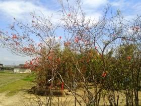 岡山の植木販売、花桃咲きました