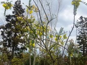岡山の植木販売、ソフラ サンキング咲きました